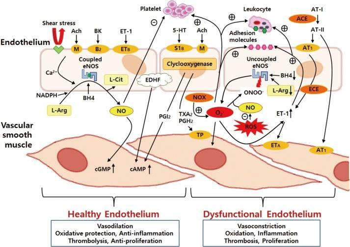 Ein Überblick über die Auswirkungen von vaskulären Endothelfaktoren auf die Funktion der glatten Gefäßmuskulatur und der zirkulierenden Blutzellen: Im gesunden Endothel ist das Enzym eNOS für den größten Teil der vaskulären NO-Produktion verantwortlich. eNOS wird jedoch zu einem potentiellen ROS-Generator, wenn es sich im pathologisch entkoppelten Zustand befindet, was auf verschiedene oxidative Belastungen zurückzuführen ist. ACE = Angiotensin-konvertierendes Enzym; Ach = Acetylcholin; AT-I = Angiotensin I; AT-II = Angiotensin II; AT1 = Angiotensin-1-Rezeptor; BH4 = Tetrahydrobiopterin; BK = Bradykinin; cAMP = zyklisches Adenosinmonophosphat; cGMP = zyklisches Guanosinmonophosphat; ECE = Endothelin-konvertierendes Enzym; eNOS = endotheliale Stickstoffmonoxid-Synthase; EDHF = vom Endothel abgeleiteter Hyperpolarisationsfaktor; ETA und ETB = Endothelin-A- und -B-Rezeptoren; ET-1 = Endothelin-1; L-Arg = L-Arginin; L-Cit = L-Citrullin; M = Muskarinrezeptor; O2- = Superoxidanion; ONOO- = Peroxynitrit; NADPH = Nicotinamid-Adenin-Dinucleotid-Phosphat; NO = Stickstoffmonoxid; NOX = Nicotinamid-Adenin-Dinucleotid-Phosphat-Oxidase; PGH2 = Prostaglandin H2; PGI2 = Prostaglandin I2; ROS = reaktive Sauerstoffspezies; S1B = Serotonin-Rezeptor; TP = Thromboxan-Prostanoid-Rezeptor; TXA2 = Thromboxan; 5-HT = Serotonin; Θ = Hemmung; ⊕ = Stimulation. (Bildquelle: Park & Park, 2015)