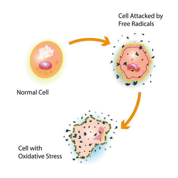 Freie Radikale enstehen im Stoffwechsel und greifen aufgrund ihrer Instabilität andere Moleküle an, um ein fehlendes Elektron einzufangen. Nimmt der oxidative Stress überhand, sammeln sich im Verlauf der Zeit immer mehr beschädigte Zellkomponenten an, so dass die Regenerationsfähigkeit des Körpers nicht mehr ausreicht. Wir altern und unser Körper funktioniert weniger gut.