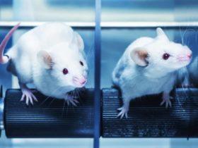 Dosierung aus Studien von Tier auf Mensch umrechnen (Human Equivalent Dose) | Studien Review