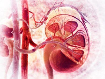 Ist Creatin gefährlich für die Nieren? | Studien Review