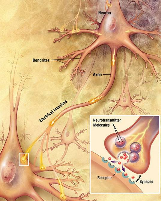 """Botenstoffe, sogenannte """"Neurotransmitter"""" sind für die Signalübertragung im Gehirn verantwortlich. Sie werden in den Synapsen ausgechüttet und sorgen dafür das elektrische Signal weitergeleitet werden können (um an Punk X einen bestimmten Effekt auszulösen)(Quelle: Wikimedia.org; Looie496)"""