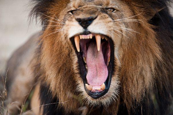 """In grauer Vorzeit mussten unsere Ahnen bei Gefahr, z.B. einem Löwenangriff, schnell handeln und eine Entscheidung treffen. Das Credo lautete hierbei """"Better safe than sorry"""". Lieber einen Fehlalarm mehr, als einen zu wenig, der dazu führte, dass einen das Zeitliche segnete. (Bildquelle: Fotolia / edan)"""