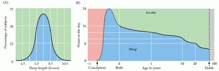 Tägliche Schlafdauer im Durchschnitt (A.) und tägliche Schlafdauer als Funktion des Alters. Der Mensch schläft im Schnitt 7,5 Stunden ± 1,25 Stunden pro Tag im Verlauf seines gesamten Lebens.