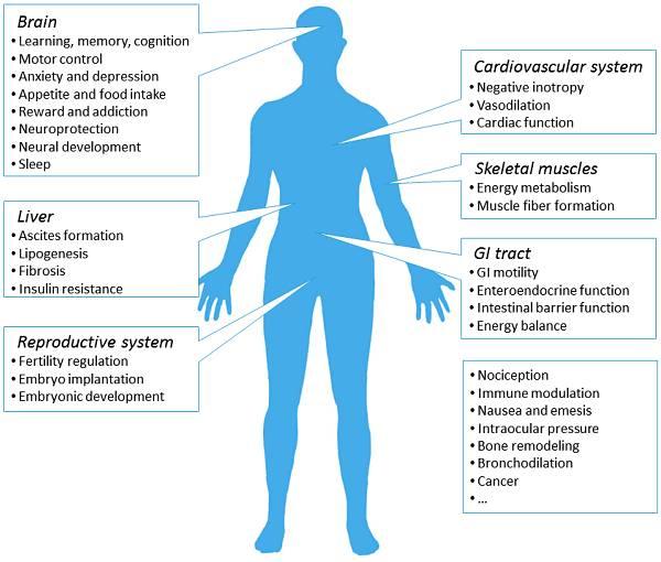 Haupt-Lokalisierungsorte (und damit verbundene Funktionen) des CB1-Rezeptors im menschlichen Körper. Die Mehrheit der CB1-Rezeptoren, die im menschlichen Körper exprimiert werden, findet sich im Gehirn, wo sie an verschiedenen neurologischen Aktivitäten beteiligt sind. CB1-Rezeptoren an den peripheren Stellen sind, wenn auch in geringerem Maße, an der Regulation lokaler Gewebefunktionen beteiligt.