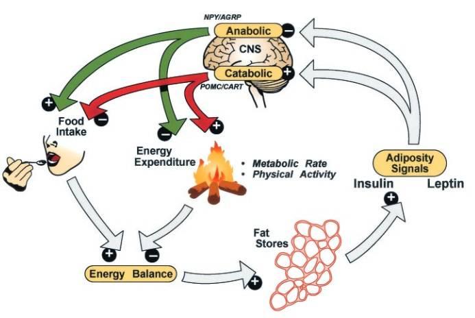 Negativ-Feedback-Modell zur Regulierung des Körperfettanteils: Leptin und Insulin sind Signale, die im Verhältnis zur Körperfettleibigkeit zirkulieren und im Hypothalamus katabolische (z.B. POMC/CART) und anabolische (z.B. NPY/AgRP) Effektoren stimulieren und hemmen. Diese Wege haben gegensätzliche Auswirkungen sowohl auf die Energieaufnahme, als auch auf den Energieverbrauch - und damit auf die Menge des im Körper als Fett gespeicherten Brennstoffs. Gewichtsverlust durch Kalorienreduktion senkt den Insulin- und Leptinspiegel, was wiederum anabole und katabole Effektoren aktiviert und hemmt und dadurch die Erholung des verlorenen Gewichts fördert. (Bildquelle: Schwartz et al., 2003)