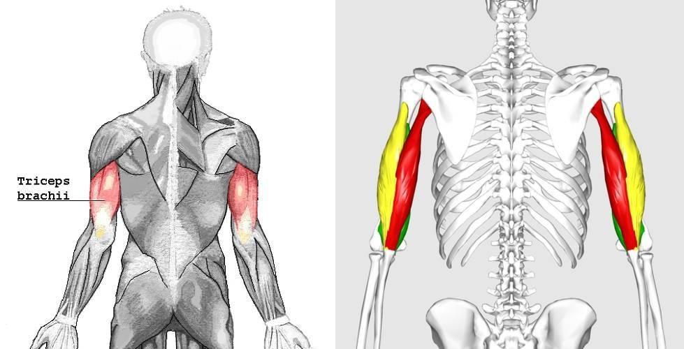 """Der Musculus triceps brachii (""""dreiköpfiger Armmuskel"""") – oftmals nur als Trizeps bezeichnet – besteht aus drei Muskelköpfen, dem langen Muskelkopf (rot), dem medialen Muskelkopf (grün) und dem lateralen Muskelkopf (gelb). Diese Tatsache hat weitreichende Konsequenzen, wenn es um ein optimales (Wachstums-)Training geht. (Bildquelle: Wikimedia.org / Användare:Chrizz ; CC Lizenz 3.0 & Anatomography, CC Lizenz 2.1)"""