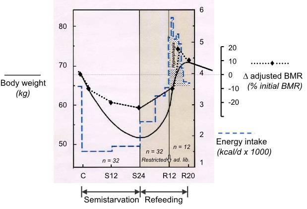 Muster der Veränderungen des Körpergewichts, der Nahrungsaufnahme und der adaptiven Thermogenese während der verschiedenen Phasen des longitudinalen Minnesota Starvation Experiments (Semi-Starvation & Refeeding Phase). Die Veränderungen in der adaptiven Thermogenese zu den verschiedenen Zeitpunkten werden als Veränderungen des Grundumsatzes (BMR) bewertet, nachdem sie um Veränderungen der fettfreien Masse (FFM) und der Fettmasse bereinigt und als Prozentsatz des BMR-Niveaus der Basislinie (Kontrolle, C) ausgedrückt wurden. C = Ende der Kontrollperiode (Grundlinie); S12 und S24 = Woche 12 bzw. Woche 24 des Halbverhungerns (Semi-Starvation); R12 und R20 = Woche 12 bzw. Woche 20 nach Beginn des Refeedings. Aus den Daten von Keys et al. (1950) sowie Dulloo & Jacquet (1998): (Bildquelle: Dulloo et al., 2004)