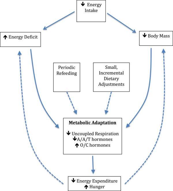 Ein theoretisches Modell der metabolischen Adaption und mögliche Strategien zur Abschwächung der Adaption.A/A/T-Hormone = Anabole, Anorexigene und Thermogene Hormone; O/C-Hormone = Orexigene und Katabole Hormone. Gestrichelte Linien stellen Inhibitionen dar. (Bildquelle: Trexler et al., 2014)