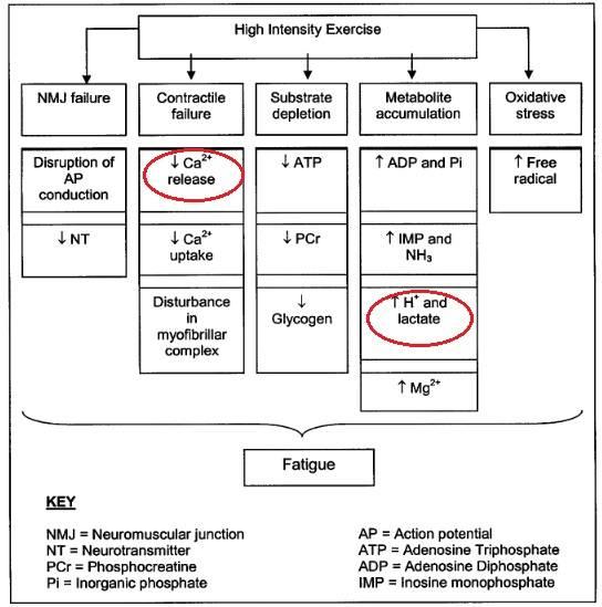 Mechanismen der Ermüdung bei hochintensivem Training, welche die Performance limitieren können. Die von mir rot markierten Stellen zeigen die Areale auf, bei denen eine Beta-Alanin Supplementation bzw. eine verbesserte Carnosin-Versorgung einen leistungssteigernden Effekt herbeiführen könnte. (Bildquelle: Begum et al., 2005)