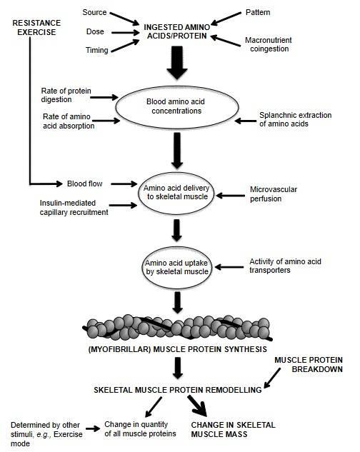 Vereinfachtes Diagramm, das die Rolle der Aminosäureverfügbarkeit bei der Regulierung der Muskelproteinsynthese mit Aminosäure-/Proteinzufuhr und Training darstellt.  Während Widerstandstraining bevorzugt die Synthese kontraktiler myofibrillärer Proteine (z. B. Aktin, Myosin, Troponin) stimuliert, stimuliert es auch die Synthese nicht-kontraktiler Proteine (z.B. mitochondrialer und sarkoplasmatischer Natur) im Skelettmuskel. (Bildquelle: Witard et al., 2016)