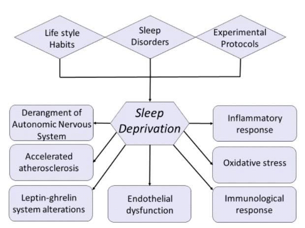 Schlafentzug kann auf Lebensgewohnheiten, Schlafstörungen und experimentelle Schlafprotokolle zurückzuführen sein. Unabhängig von der Ursache aktiviert der Schlafentzug mehrere physiopathologische Vorgänge, wie z. B. die Dysfunktion des autonomen Nervensystems, die Dysfunktion des Endothels, erhöhte Entzündungs-, Gerinnungs- und oxidative Stressreaktionen, sowie die Deregulierung der Hormonsekretion. Alle diese Veränderungen werden für den Zusammenhang zwischen Schlafentzug und kardiovaskulären Störungen verantwortlich gemacht. (Bildquelle: Tobaldini et al., 2017)