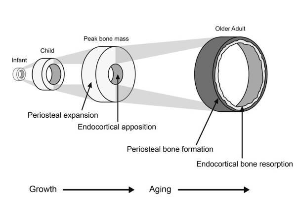 Veränderungen in der strukturellen Zusammensetzung des Knochens im Laufe des Lebens. (Bildquelle: Weaver et al., 2016)