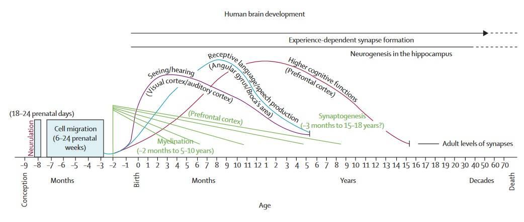 Entwicklung des menschlichen Gehirns. (Bildquelle: Grantham-McGregor et al., 2007; adaptiert nach Thompson & Nelsen, 2001)