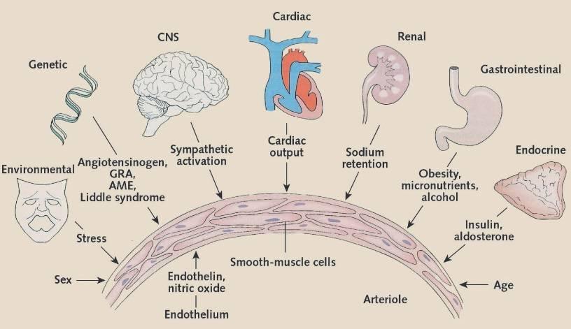 Pathophysiologische Mechanismen des Bluthochdrucks. AME = Scheinbarer Mineralokortikoidüberschuss; CNS = Zentrales Nervensystem; GRA = Glukokortikoid-remediierbarer Aldosteronismus. (Bildquelle: Oparil et al., 2003)